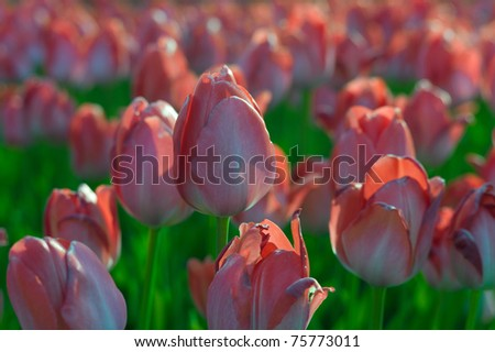 Pink tulips in a field - stock photo