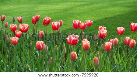 Pink Tulips in front of grass - stock photo