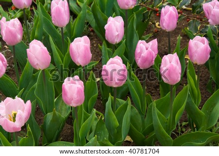 Pink tulips in the garden Balcic, Bulgaria - stock photo