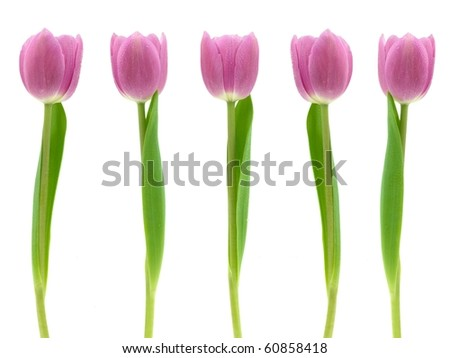Pink tulips isolated against a white background - stock photo