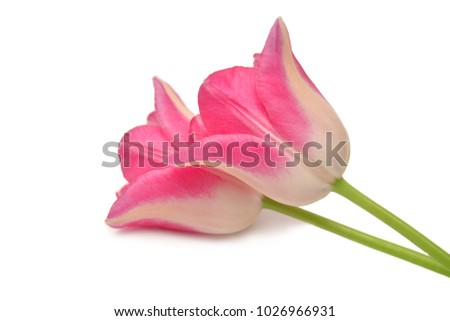 Pink tulips isolated on white background. Flat lay, top view.