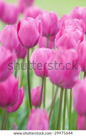 Pink tulips on a filed close up shoot - stock photo