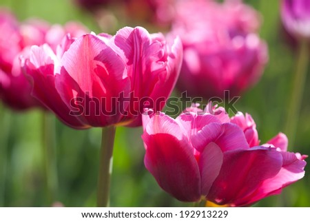 Pink tulips on a green background (soft focus)