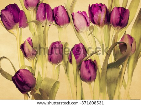 Pink tulips on old paper background,watercolor style - stock photo