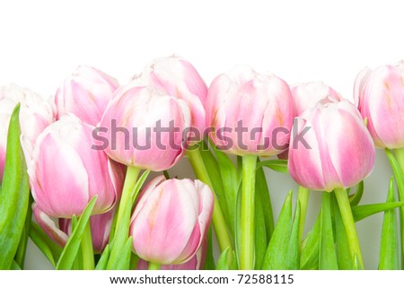 pink tulips on white - stock photo