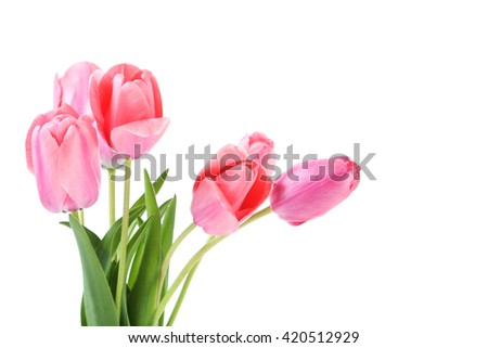Pink tulips on white background, close up