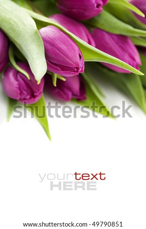 Pink tulips on white background. With sample text. - stock photo