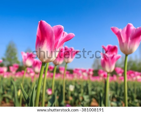 Pink tulips with the blue sky