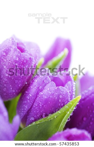 Pink tulips with water drops on white background (with sample text) - stock photo