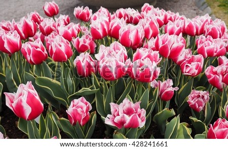 pink tulips with white edge on the petals in a green garden 5 - stock photo