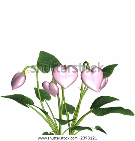 Pink valentine hearts in full bloom. Isolated on a white background. - stock photo
