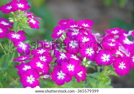 Pink vinca flower - stock photo