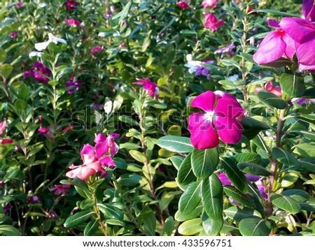 pink vinca flowers - stock photo