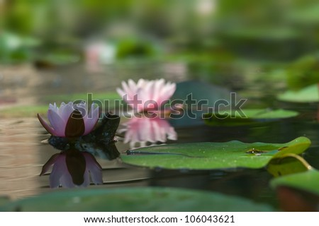 Pink Water lilies - stock photo