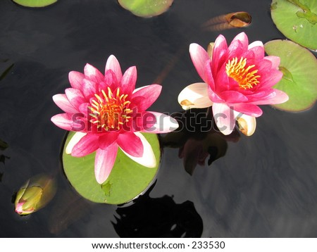 Pink water lilies at the Cleveland Botanical Garden