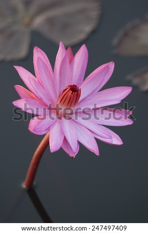 Pink Water lilly - stock photo
