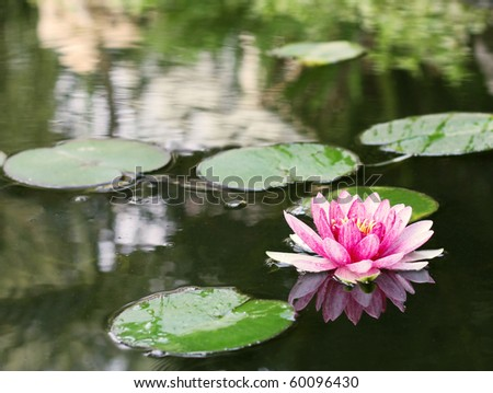 Pink water Lilly in a pond - stock photo