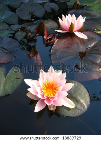 Pink water-lily - stock photo