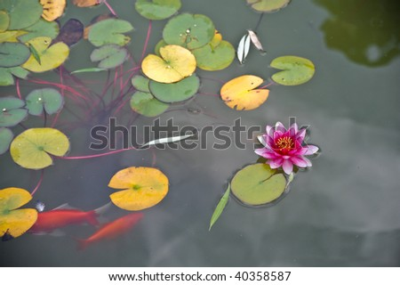 Pink water lily and goldfish - stock photo