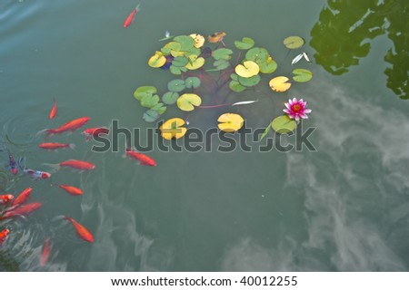 Pink water lily and goldfishs - stock photo