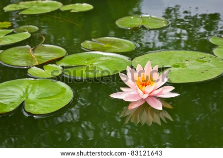 pink water lily and leaf in pond - stock photo