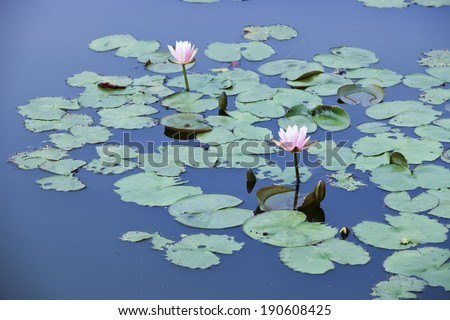 pink water lily and lotus in lake - stock photo