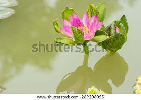Pink water lily blooming in the pond - stock photo