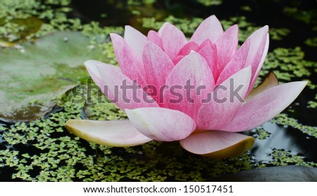 Pink water lily flower in full bloom in an English pond. Shallow depth of field - stock photo