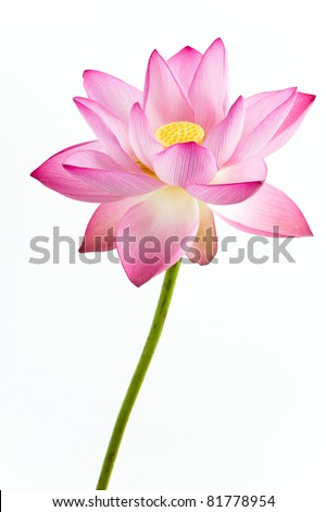 Pink water lily flower (lotus) and white background. The lotus flower (water lily) is national flower for India. Lotus flower is a important symbol in Asian culture.