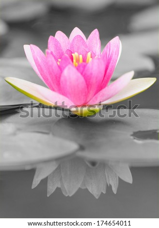 Pink Water Lily in Black and White Background - stock photo