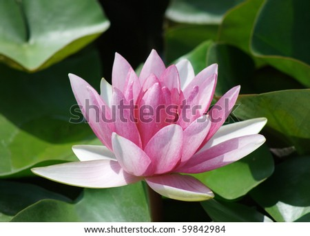 Pink water lily in green leaves