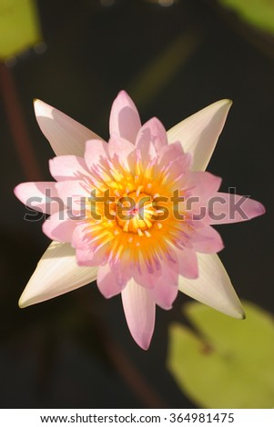 Pink water lily in sunlight.