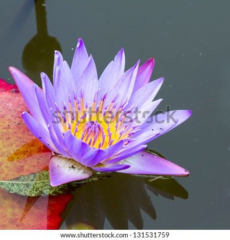 Pink Water Lily in the lake - stock photo
