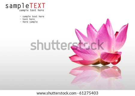 pink water lily isolated on white background - stock photo