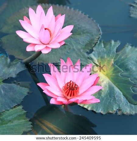 Pink water lily lotus flower and green leaves.