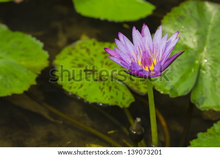 pink water lily lotus flower with water drop