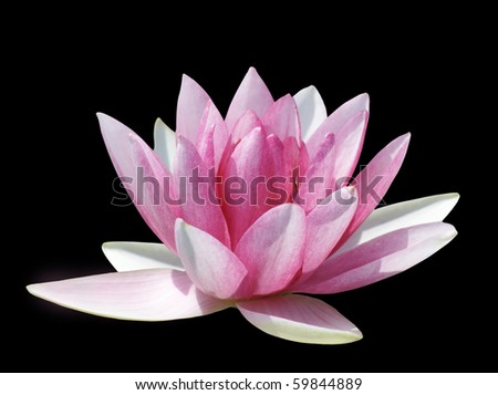 Pink water lily on black