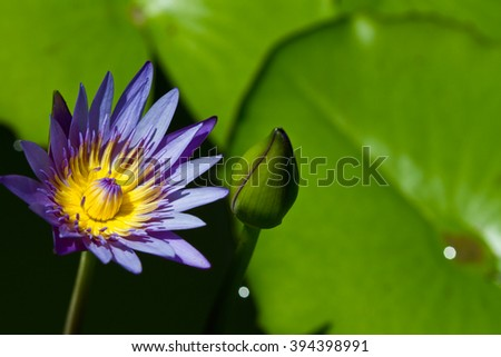 Pink Water lily on  Koh Ngai island Thailand - stock photo