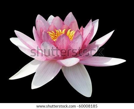 Pink water lily on the black background, isolated with clipping path