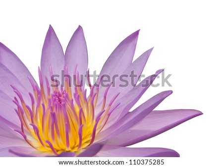 Pink water lily on the white background, isolated with clipping path - stock photo