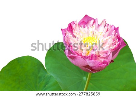Pink water lily or lotus isolated on white background - stock photo