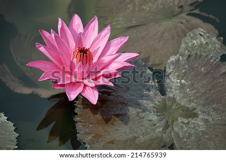 Pink water lily with brown leaves on the surface of a pond close up. Indonesia, Bali island