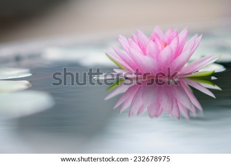 Pink Water Lily (with reflection) - stock photo