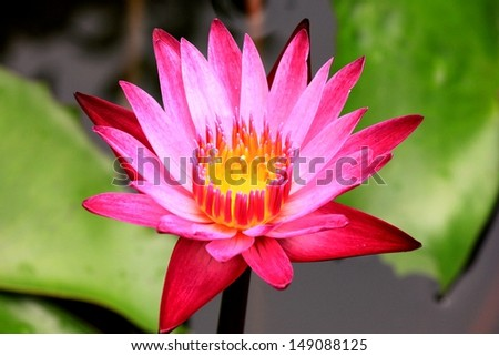 Pink Waterlilly bloom  - stock photo