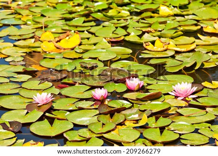 Pink waterlilly flowers in bloom - stock photo
