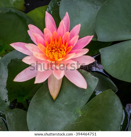 Pink waterlily and green leaf in natural pond
