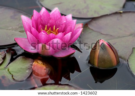 Pink waterlily and new bud - stock photo