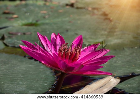 Pink Waterlily in garden pond with sunlight. - stock photo