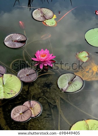 pink waterlily in pond with lily pads