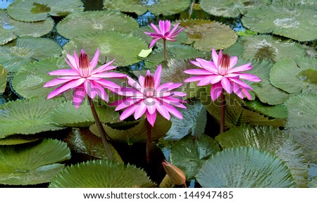 Pink waterlily with large green water leaves - stock photo